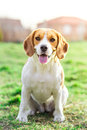 Beagle puppy close up portrait funny Royalty Free Stock Image