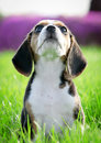 Beagle puppy dog Royalty Free Stock Photography