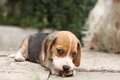 Beagle puppy small two month old dog Stock Photography