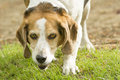 Beagle purebred dog portrait in field Royalty Free Stock Image