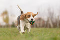 Beagle running outdoor with ball in mouth Royalty Free Stock Photo