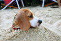 Beagle in the sand