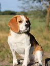 Beagle sitting Stock Photography