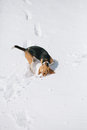 Beagle sniffing snow young under Royalty Free Stock Photos