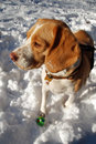 Beagle in snow Royalty Free Stock Photo