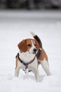 Beagle on the snow young looking for something Stock Photography