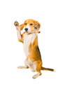 Beagle standing on its hind legs isolated Stock Photo