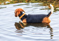 Beagle taking bath in the duck pond Royalty Free Stock Photo