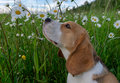 Beagle on a walk among a field of white daisies
