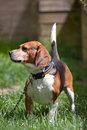 Beagle Watch Dog Royalty Free Stock Photo