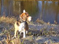 Beagle at waterside looking intensely a frosty Stock Images