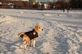 Beagle in winter dog on the baltic sea shore tallinn Stock Photos