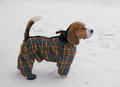 Beagle in winter suit is a breed of small to medium sized dog a member of the hound group it is similar appearance to the foxhound Royalty Free Stock Photos
