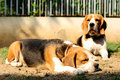 Beagles sunbathe on the yard in sunny day Royalty Free Stock Photography