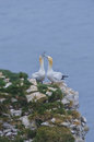Beak fencing pair of northern gannets a courting morus bassanus displaying by which strengthens the bond Stock Photo