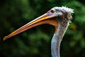Beak of Pelican Royalty Free Stock Photo