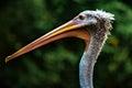 Beak Of Pelican