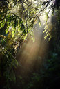 Beams of morning sunlight in a dark forest Royalty Free Stock Photo