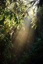 Beams of morning sunlight in a dark forest