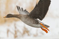 Bean goose on icy river lithuania Stock Photography