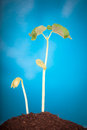 Bean sprout Royalty Free Stock Photo