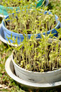 Beansprouts growing plastic pot Stock Image