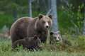 She bear and bear cubs adult female of brown ursus arctos with on the swamp in summer forest Royalty Free Stock Photography