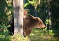 She bear and bear cubs adult female of brown ursus arctos with on the swamp in summer forest Stock Photography
