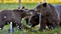 She bear and bear cubs adult female of brown ursus arctos with on the swamp in summer forest Royalty Free Stock Image