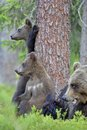 She bear and bear cubs adult female of brown x ursus arctos x with in the summer forest Royalty Free Stock Photos