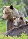 She bear and bear cubs adult female of brown x ursus arctos x with in the summer forest Royalty Free Stock Image