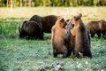 She bear and bear cubs adult female of brown x ursus arctos x with on the swamp in summer forest Royalty Free Stock Photos