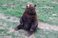 Bear beautiful brown sitting in grass Royalty Free Stock Images