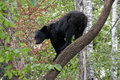 Bear on a branch young black climbing down Stock Image