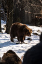 Bear at bronx zoo winter Royalty Free Stock Images