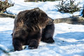 Bear at bronx zoo winter Royalty Free Stock Photos