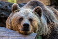 Bear the brown in the zoo Royalty Free Stock Photo