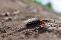 She-bear caterpillar (Arctia caja) Royalty Free Stock Photography