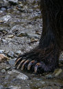 Bear claw closeup of a grizzly foot or in the tongass national forest alaska Stock Photography