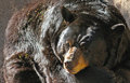 Bear close up of black sitting in sunshine Royalty Free Stock Photography