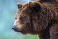 bear close up portrait