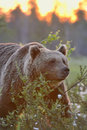 Bear contra sunset Royalty Free Stock Image