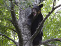 Bear cub crying in a tree black year old Stock Photography