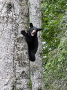 Bear cub crying in tree for mom Stock Photo