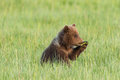 Bear cub munching grass young alaskan coastal brown eating sedge grasses Royalty Free Stock Photo