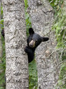 Bear cub peeking around tree cute black Royalty Free Stock Images