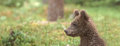Bear cub sitting in the woods and looking curiously around sized to fit for cover image on popular social media site Royalty Free Stock Images
