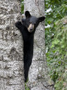 Bear cub in tree black looking around the side of a as he climbs it Royalty Free Stock Images