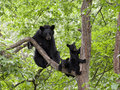 Bear cub twins with mom in a tree two black cubs sitting sow Royalty Free Stock Image