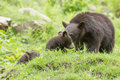 Bear cubs black playing ursus americanus Stock Photo